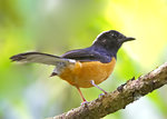 White-rumped Shama 