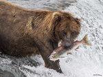 Brown Bear Fishing 18