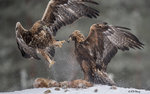 Eagle Confronting 11