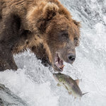 Brown Bear Fishing 09