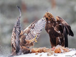 Eagle Confronting 10