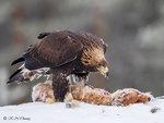 Golden Eagle 01