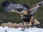 Golden Eagle 12
