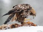 Golden Eagle 25