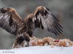 Golden Eagle 32