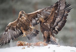 Golden Eagle Fighting 03