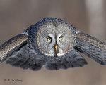 Great Grey Owl A22