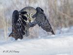 Great Grey Owl A23