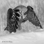 Great Grey Owl A23 BW