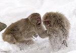 Monkey Fight 01