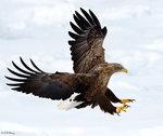 A Fury Eagle