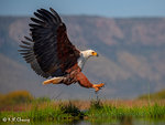 African Fish Eagle Landing