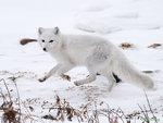 Arctic Fox 01