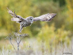 Great Grey Owl Took Off 01