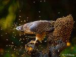 Honey Buzzard 64