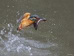 Kingfisher Out of Water