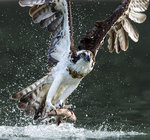 Osprey 06