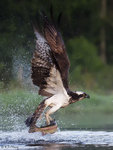 Osprey Caught a Fish 9