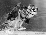 Osprey Fish Catching 04 BW