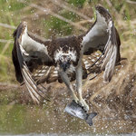 Osprey Preying 03