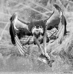 Osprey Preying 03 BW
