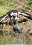 Osprey Preying 05
