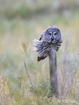 Owl in the Wind 01