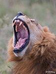 Roaring Lion 2