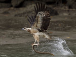 Sea Eagle and Eel 2