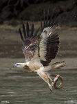 Sea Eagle and Eel 4