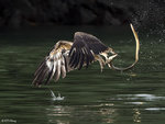 Sea Eagle and eel 11