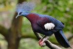 紫胸鳳冠鳩 DSC_0041_1