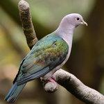 綠皇鳩 DSC_9895_1