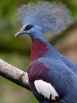紫胸鳳冠鳩 DSC_9973_1