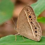 小眉眼蝶(濕季型) DSC_1811_1
