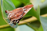 鐵木萊灰蝶(雌) DSC_3276_1