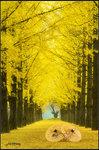 林外蕭蕭 伊人渺渺 Yellow leaves everywhere