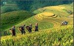 黃金稻田滿是黃金