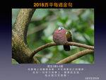 20180318 綠翅金鳩